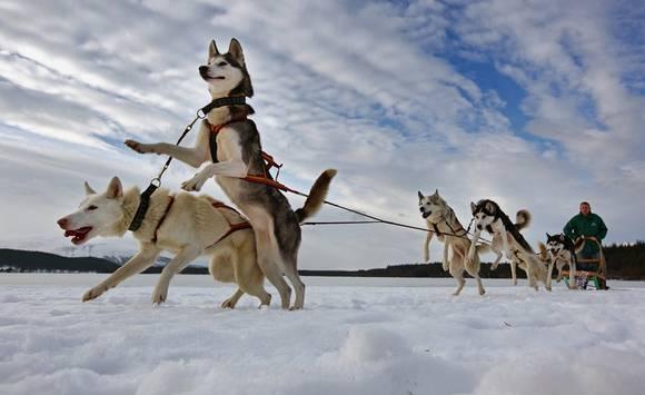 Husky-Sled-Dog-9