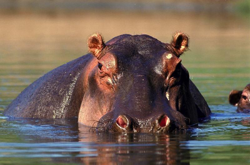 south_africa_kruger_np_hippo_60e87f7f968d4b78942383ea93eec19e