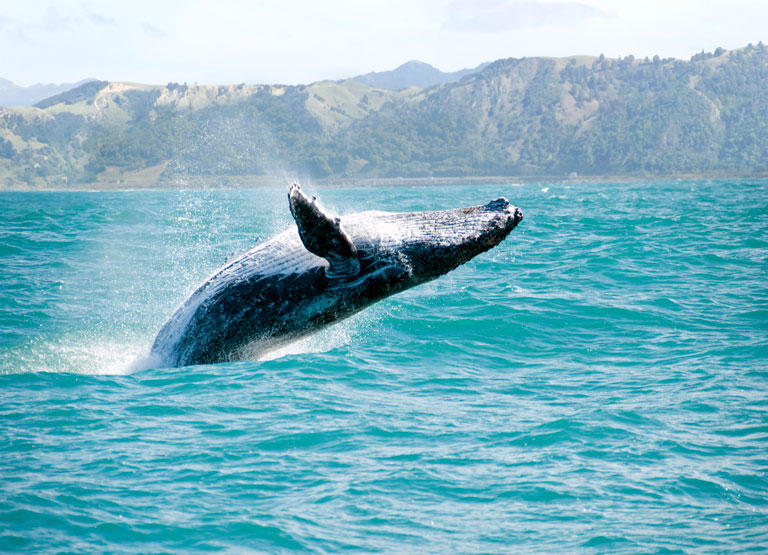 humpback-whale-hawaii
